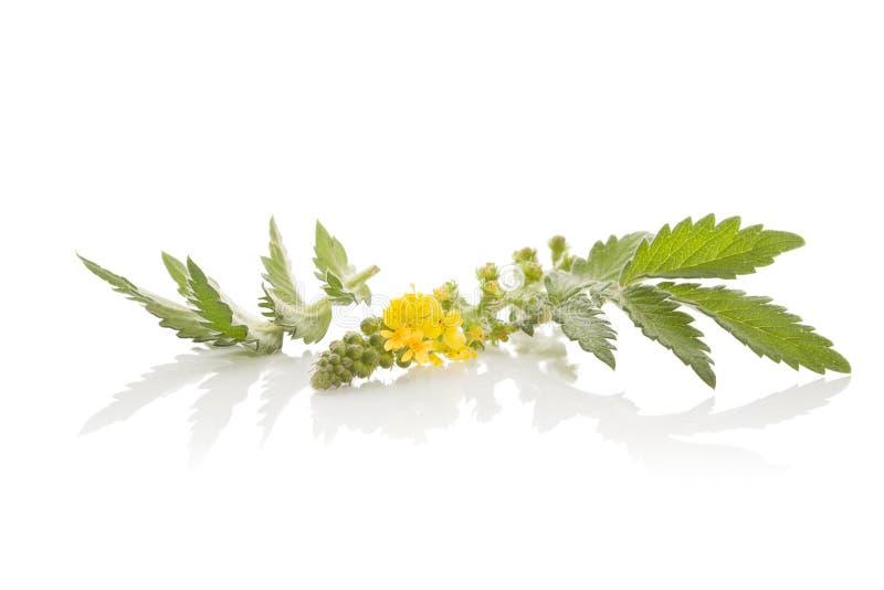 Agrimonia eupatoria, pospolity agrimony obraz stock