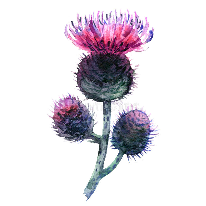 Free Agrimony, Bur Buds And Flowers, Burdock Head Isolated, Watercolor Illustration On White Royalty Free Stock Photo - 92450845