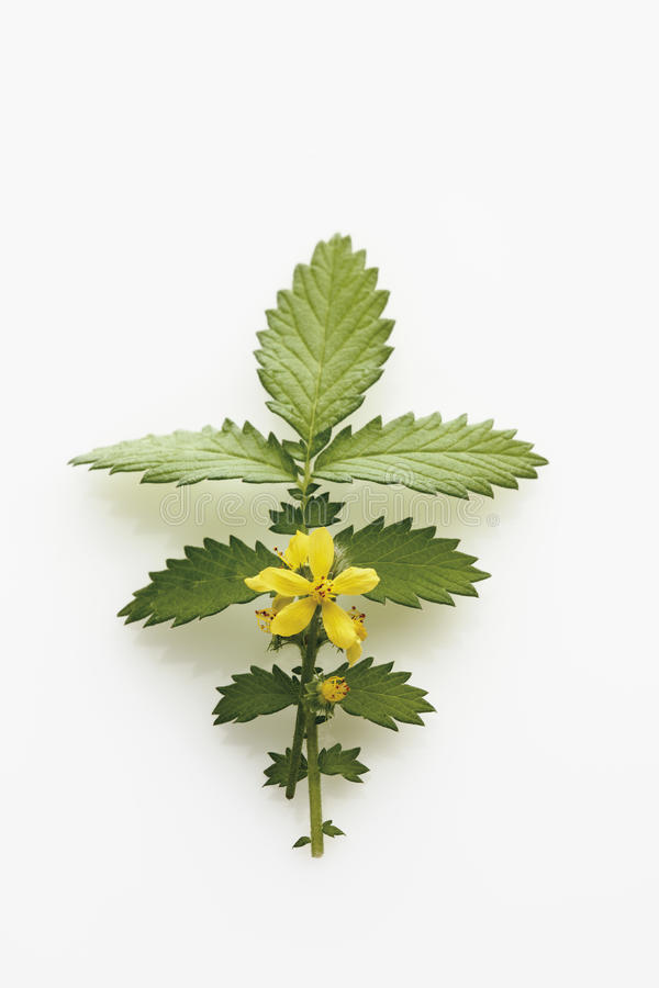 Agrimony flower stock images
