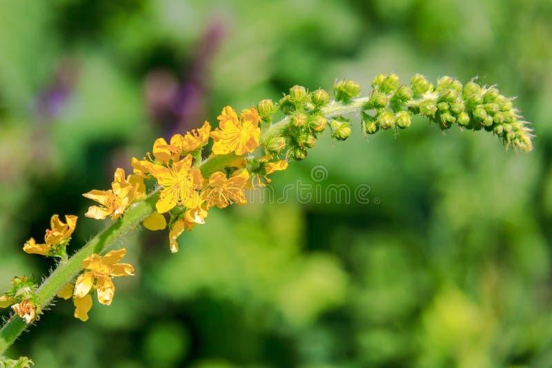 Agrimony Gelbe kleine Blumen in der Ährchennahaufnahme lizenzfreie stockfotos