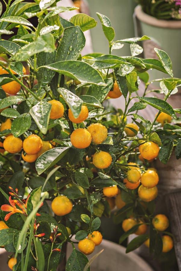 Agrios miniatura foto de archivo libre de regalías