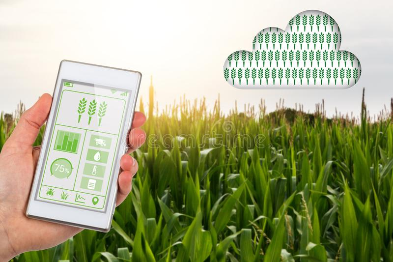 Agritech concept smartphone app linking to cloud in corn field royalty free stock photos