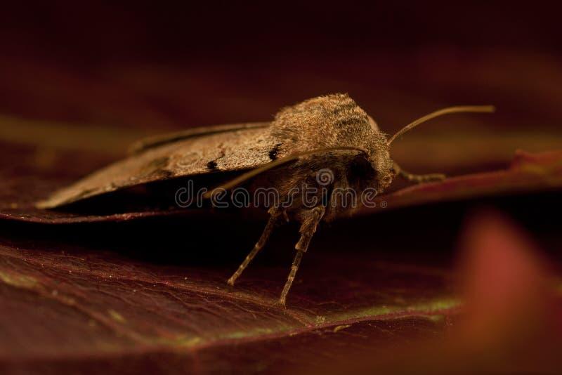 Agrochola litura,布朗斑点鸟翼末端 免版税库存照片