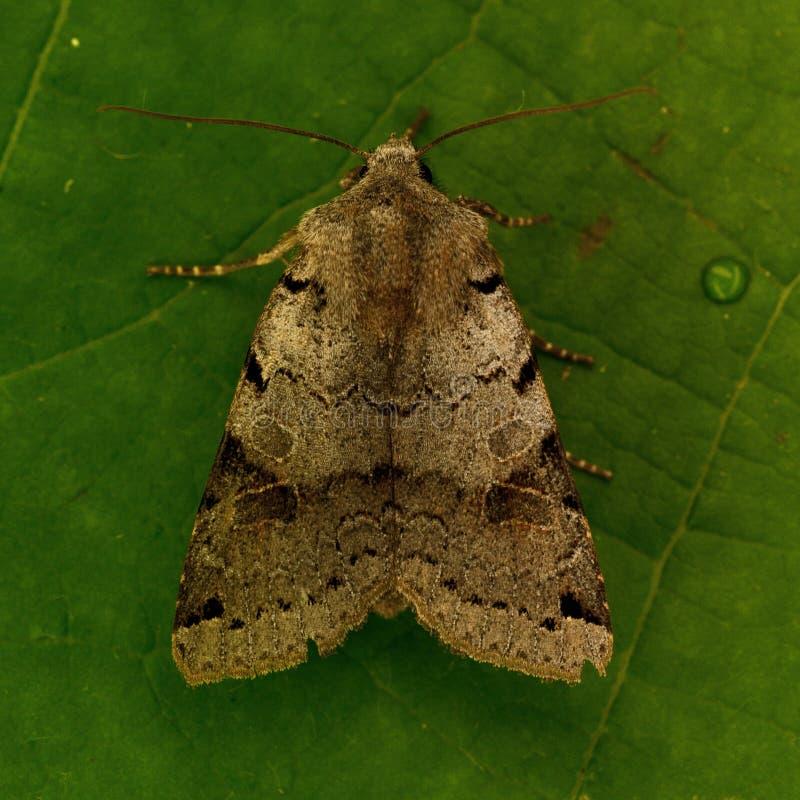 Agrochola litura,布朗斑点鸟翼末端 免版税图库摄影