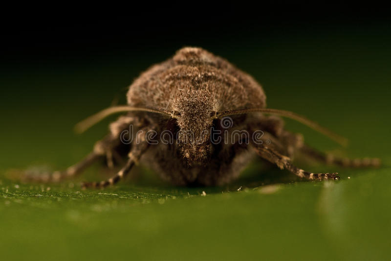 Agrochola litura,布朗斑点鸟翼末端 库存照片
