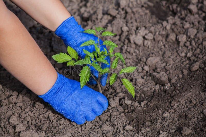 Agronom, der kleine Feder des Tomatensämlings im offenen Boden pflanzt lizenzfreies stockbild