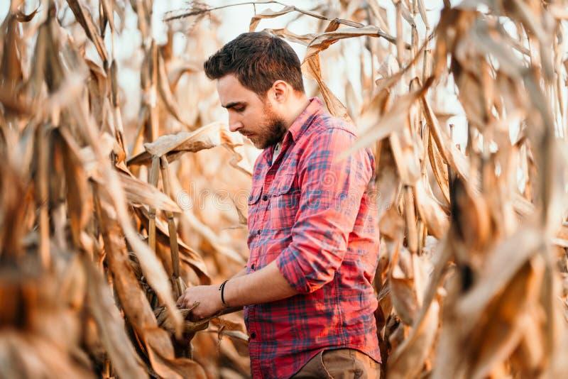 Agronom sprawdza kukurudzy jeżeli gotowy dla żniwo portreta rolnik zdjęcia stock