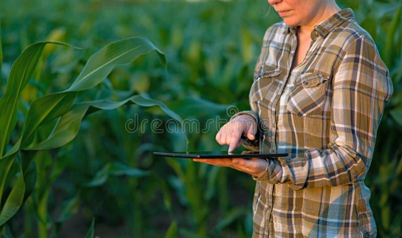 Agronom z pastylka komputerem w kukurydzanym polu fotografia royalty free