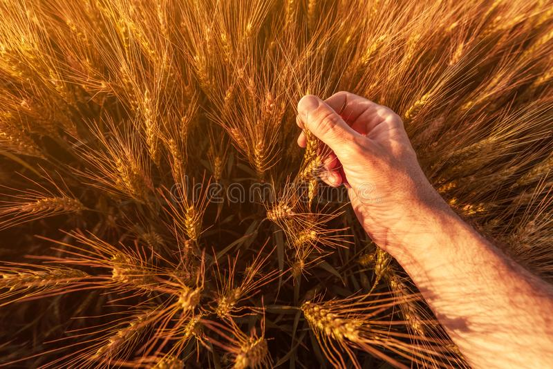 Agronombonden kontrollerar mogna öron av vete i fält arkivfoto