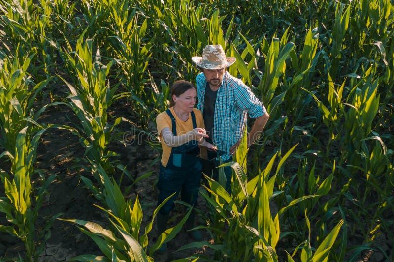 Agronome féminin conseillant l'agriculteur de maïs dans le domaine de culture images stock