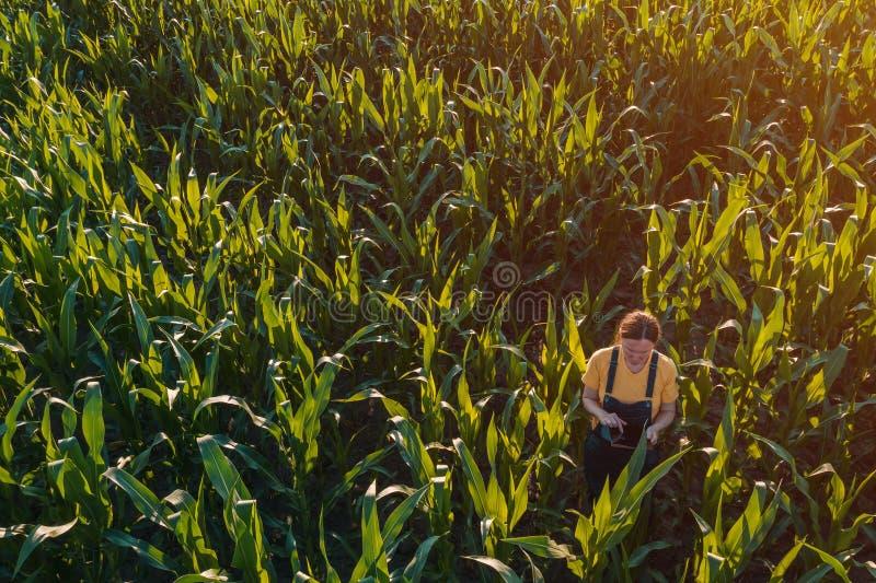 Agronomenfrau, die Tablet-Computer auf dem Maisgebiet verwendet lizenzfreie stockbilder