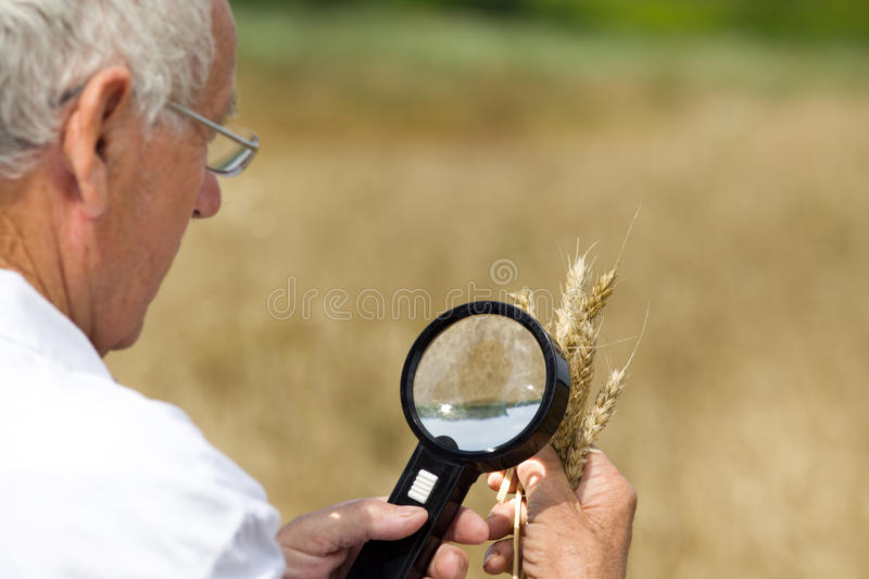 Agronomist analysing wheat ears. Old agronomist in white coat looking through magnifier in wheat ears in field stock image