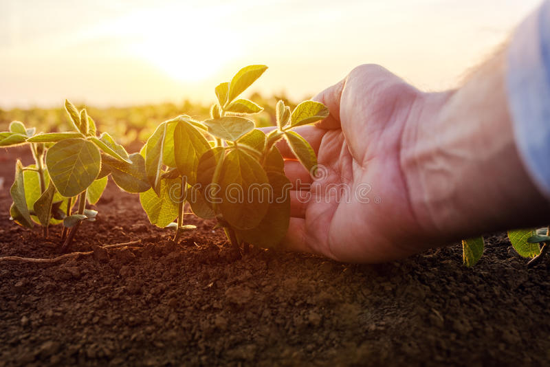 Agronomist checking small soybean plants in cultivated agricultural field. Close up of male hand examining young crops stock photos