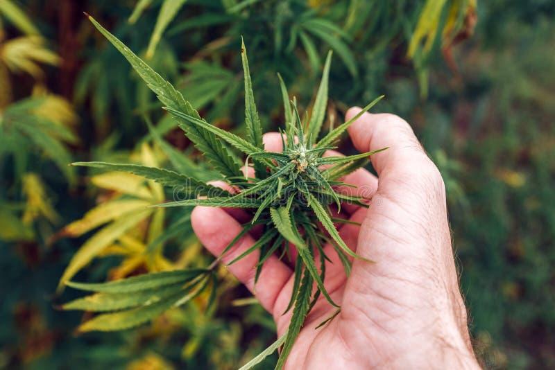 Agronomist examining industrial hemp plant flower stock photos