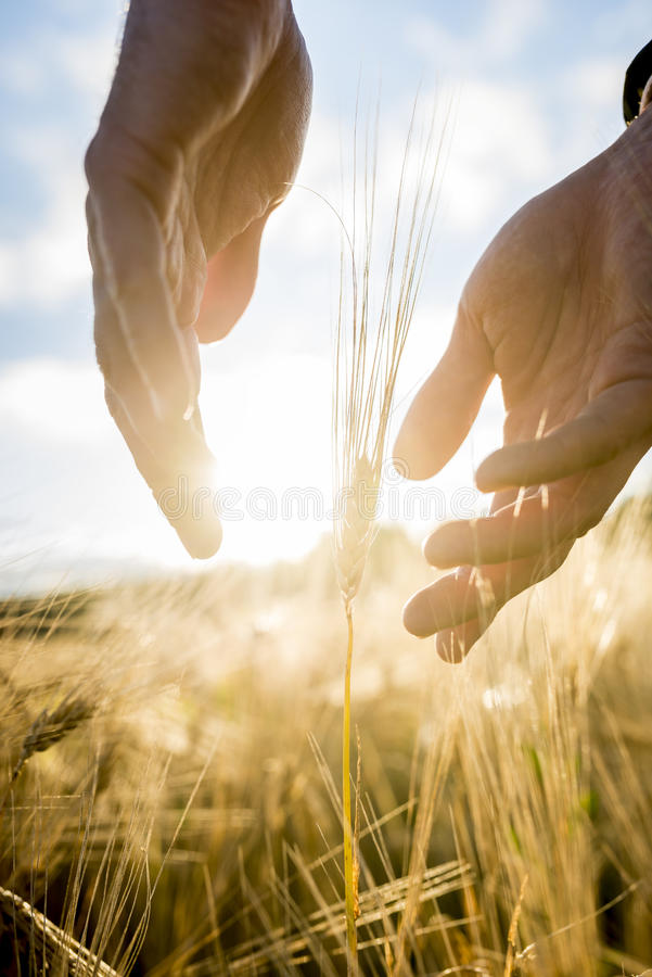 Agronomist or farmer cupping his hands around an ear of wheat in. An agricultural field backlit by the warm glow of the rising sun between his hands, suitable stock images