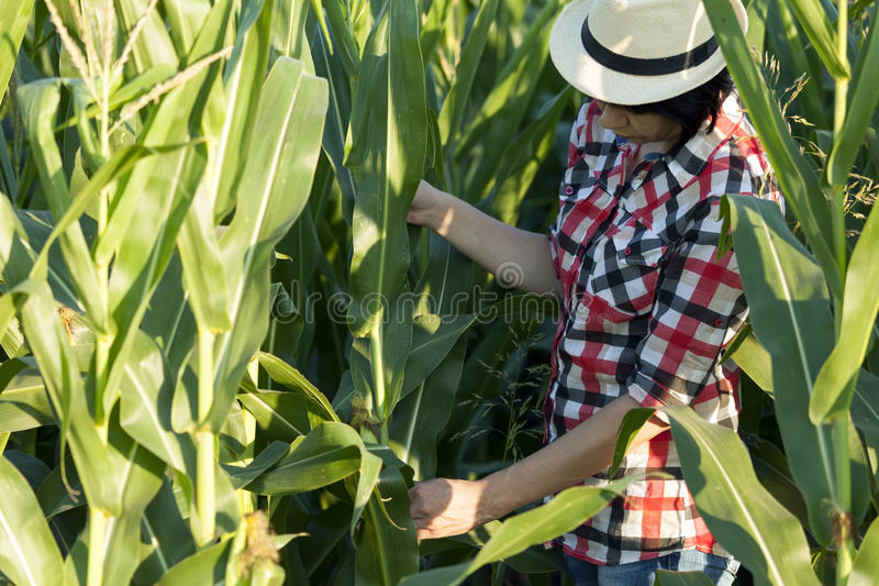 Agronomist, farmer, examines the quality of corn. Female farmer, an agronomist by profession, is in the field of corn stock image