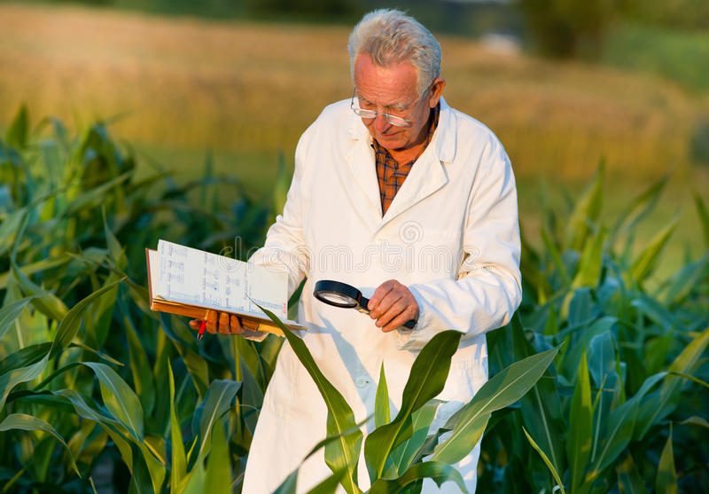 Agronomist in field. Old agronomist in white coat looking through magnifier in corn field royalty free stock photo