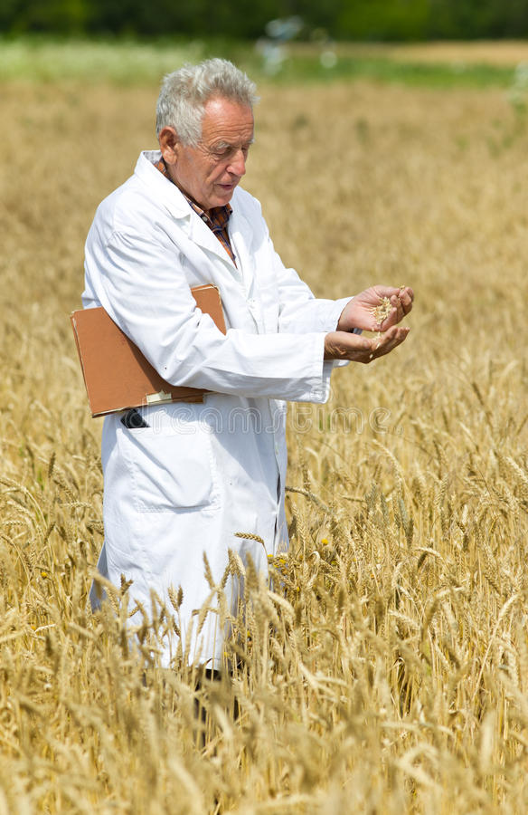 Agronomist on field. Old agronomist in white coat testing wheat grains in field royalty free stock image