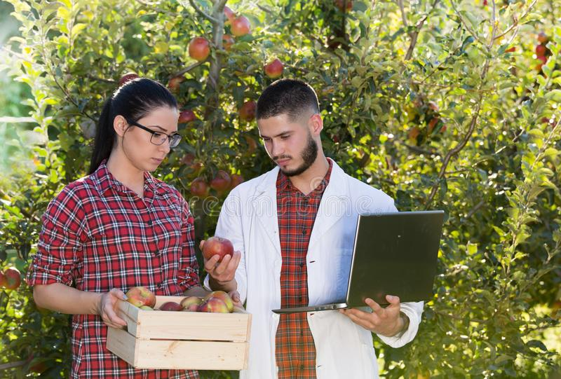 Agronomist and farmer in apple orchard. Agronomist with laptop and farmer girl with crate full of apples talking in orchard royalty free stock photos