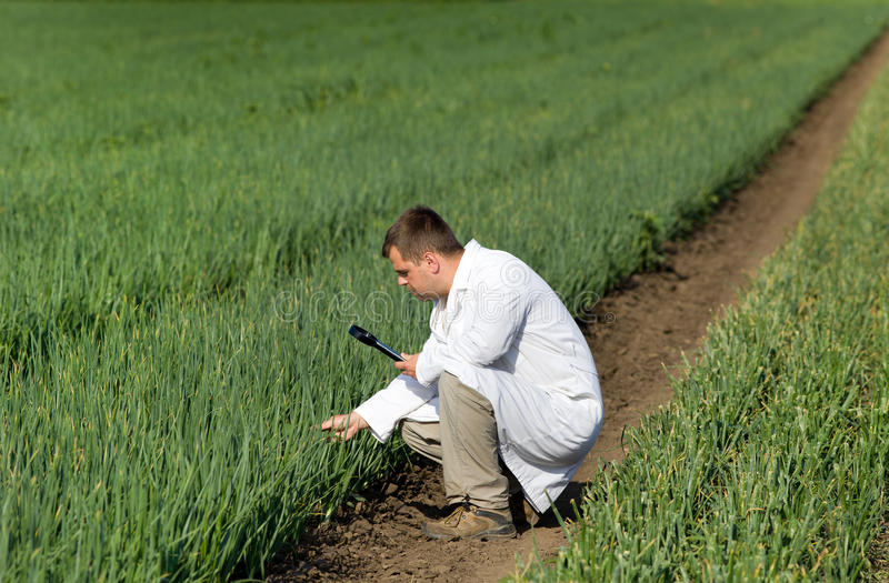 Agronomist in onion field. Agronomist in white coat looking through magnifier in onion field stock photo