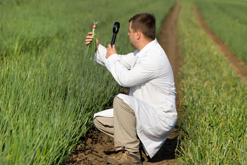 Agronomist in onion field. Agronomist in white coat looking through magnifier in onion royalty free stock photography