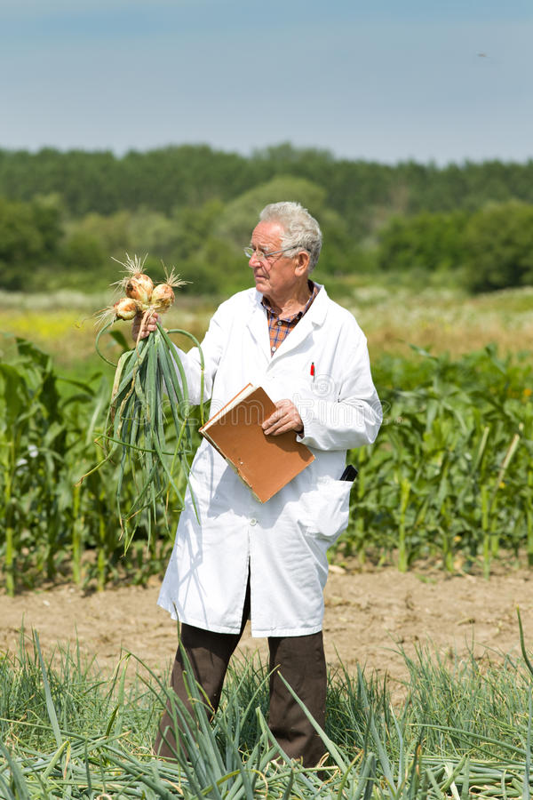 Agronomist with onion. Old agronomist holding and examining onion from ground stock image