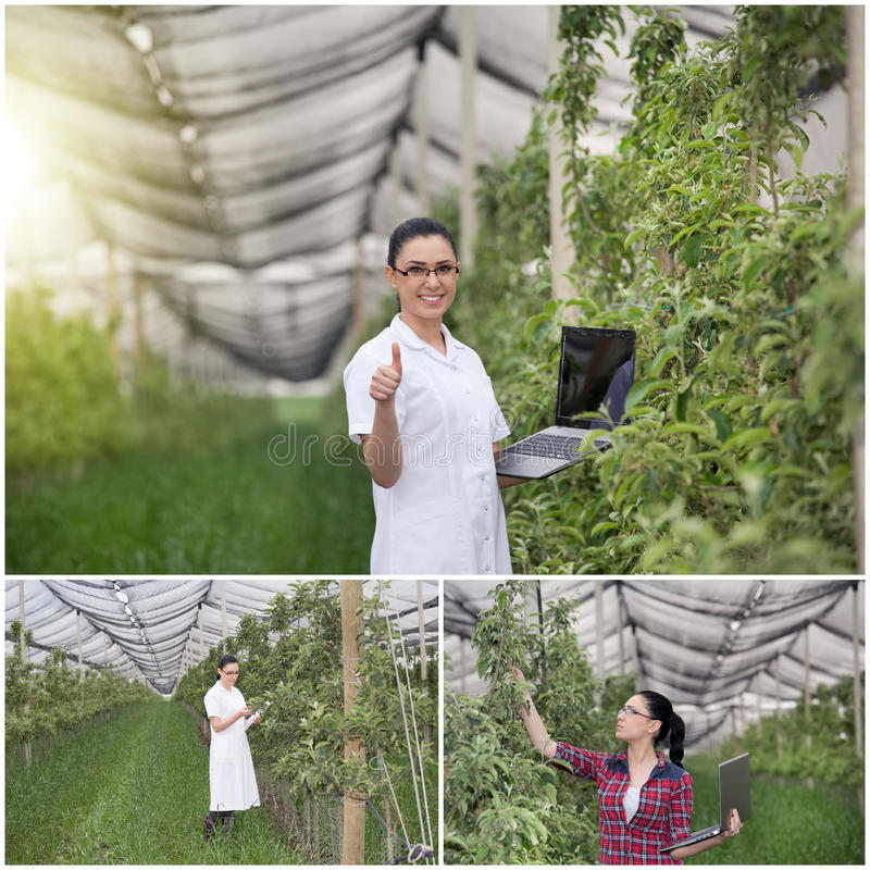Agronomist in orchard. Collage of young woman agronomist checking fruit trees in modern orchard with anti-hail net royalty free stock images