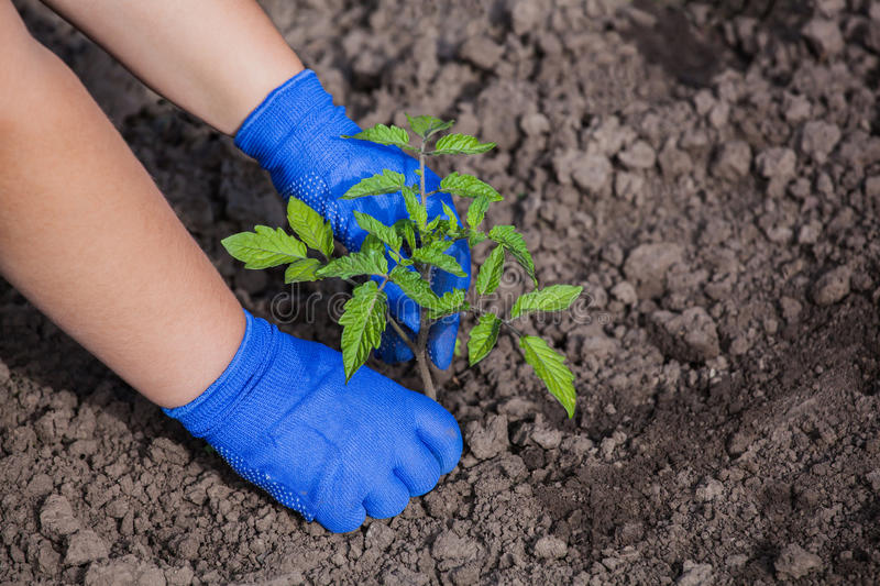 Agronomist planting tomato seedling small spring in open ground. Gardening work, growing vegetables at home royalty free stock image