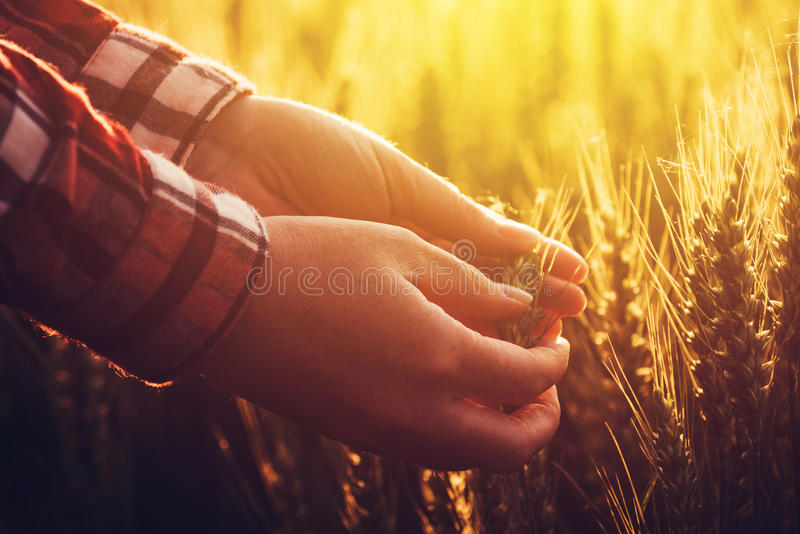 Agronomist researcher analyzes wheat ear development. In cultivated agricultural field royalty free stock images