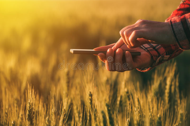 Agronomist using smart phone mobile app to analyze crop development. Female hands with mobile phone in cultivated wheat field royalty free stock photos