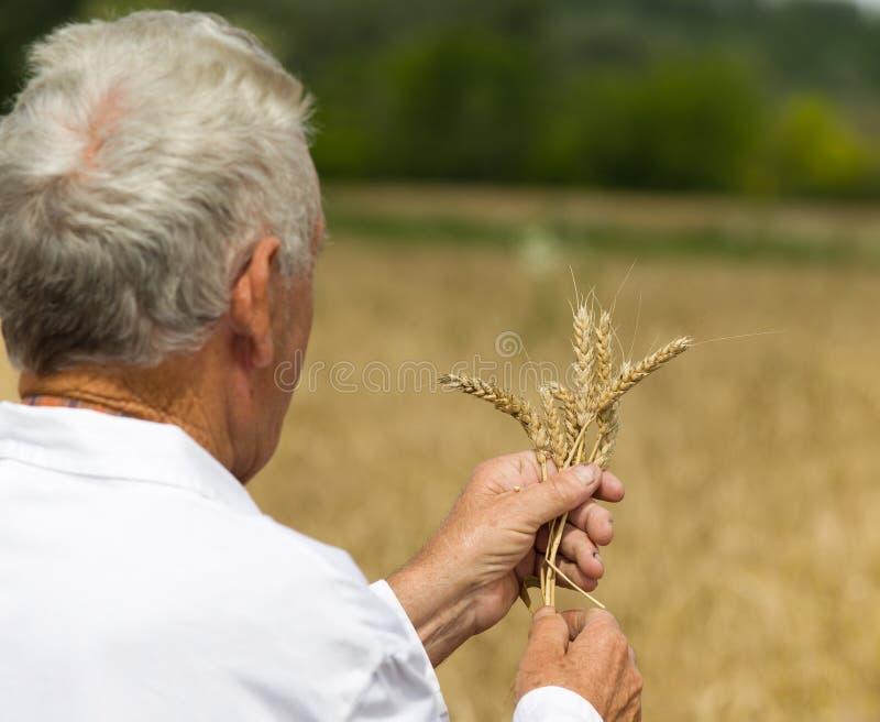 Agronomo che analizza le orecchie del grano fotografie stock
