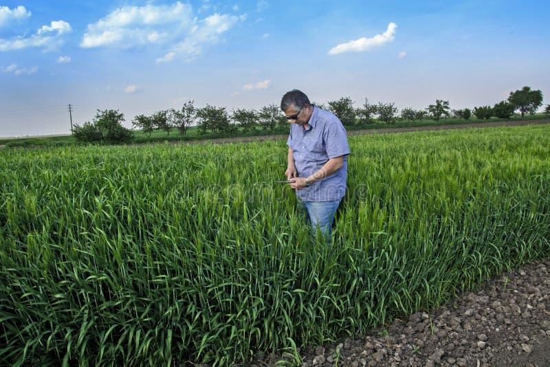 Agronomo nel campo con grano fotografia stock libera da diritti