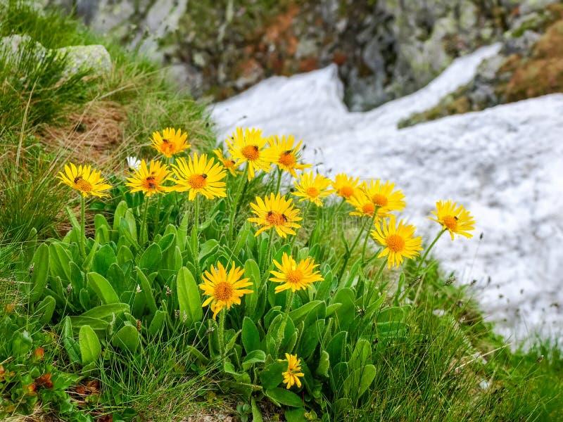Agrupe las flores de la árnica Montana en las montañas de Tatra imagen de archivo libre de regalías