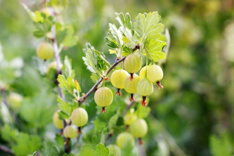 Крыжовник в саде Зеленые ягоды Agrus стоковое фото rf