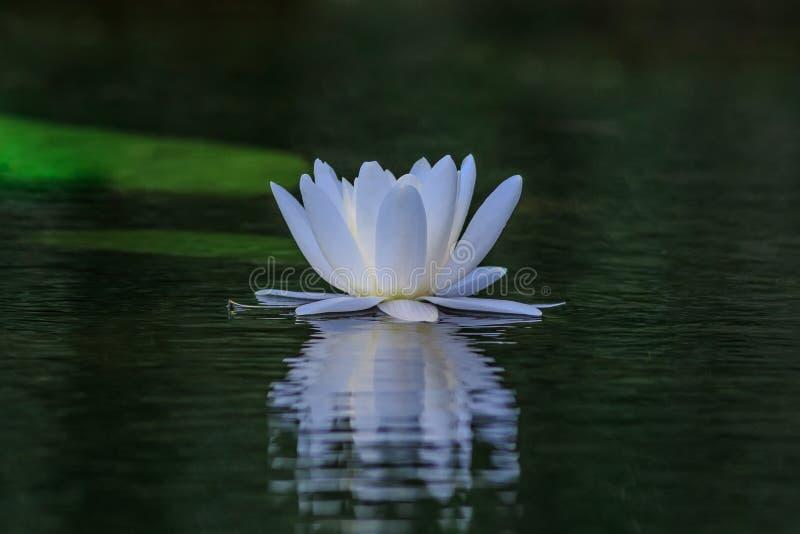 Agua blanca europea lilly en el delta de Danubio, Rumania imagenes de archivo