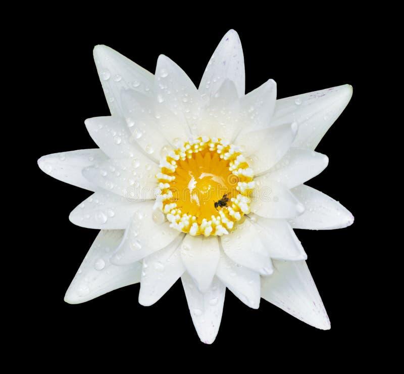 Agua blanca lilly imagen de archivo libre de regalías