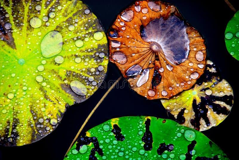 Agua cristalina en la hoja del loto fotografía de archivo libre de regalías