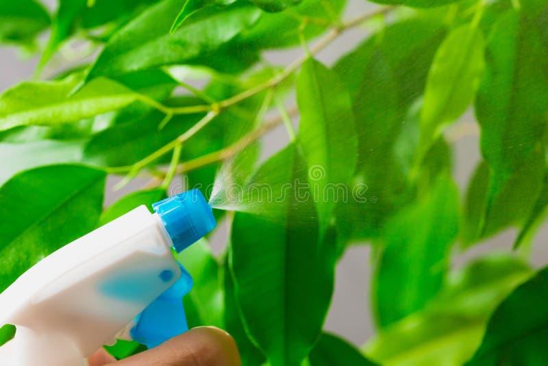 Agua de rociadura en la planta casera verde imagenes de archivo