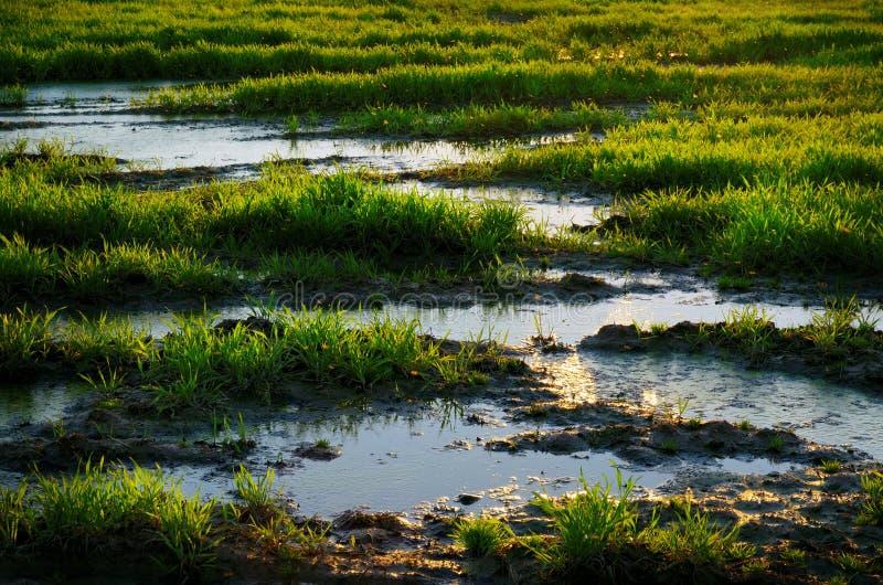 Agua del pantano entre hierba verde imagenes de archivo