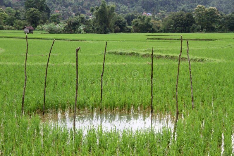 Agua en el campo del arroz fotos de archivo libres de regalías