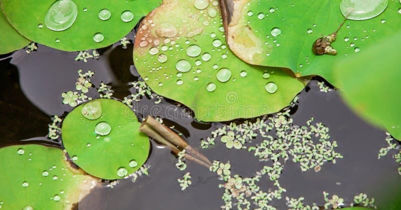 Agua en la hoja del loto imagenes de archivo