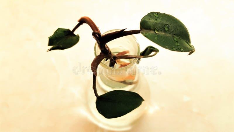 Agua en las hojas del Philodendron que crecen en un bulbo de cristal imágenes de archivo libres de regalías