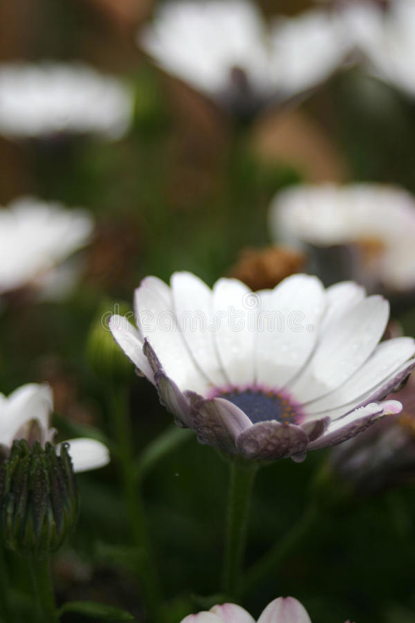 Agua en un flor de la margarita foto de archivo libre de regalías