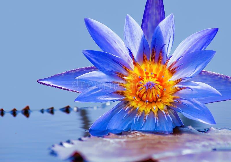 Download Agua lilly foto de archivo. Imagen de belleza, nadie - 100534450