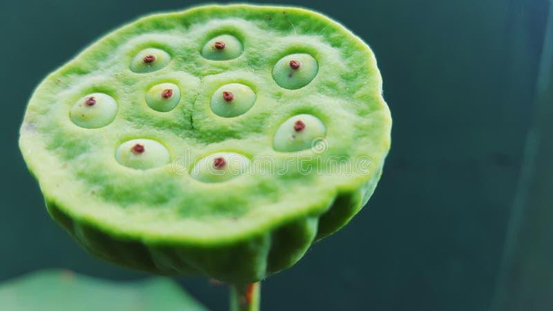 Agua Lily Fruit imagen de archivo libre de regalías