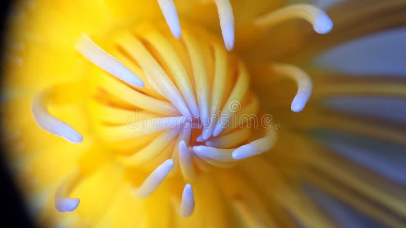 Agua Lily Heart foto de archivo