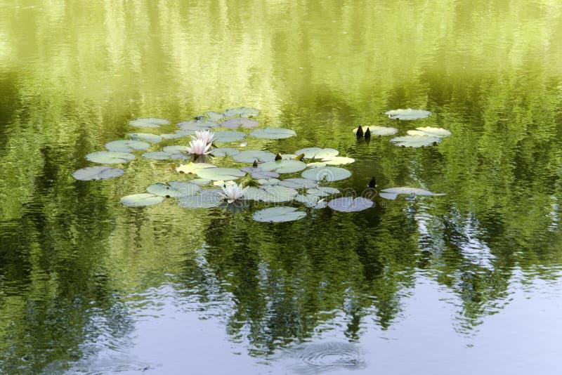 Agua-lirios en el lago fotografía de archivo