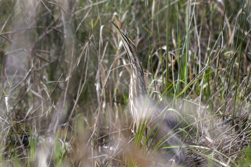 Agua madre de salmuera americana que oculta en hierbas en el pantano Georgia de Okefenokee imagenes de archivo
