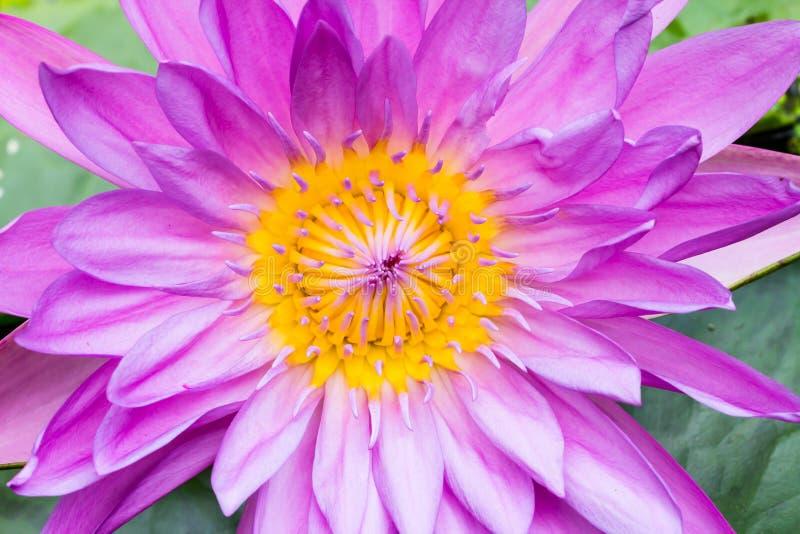 Agua púrpura del primer lilly imagen de archivo libre de regalías