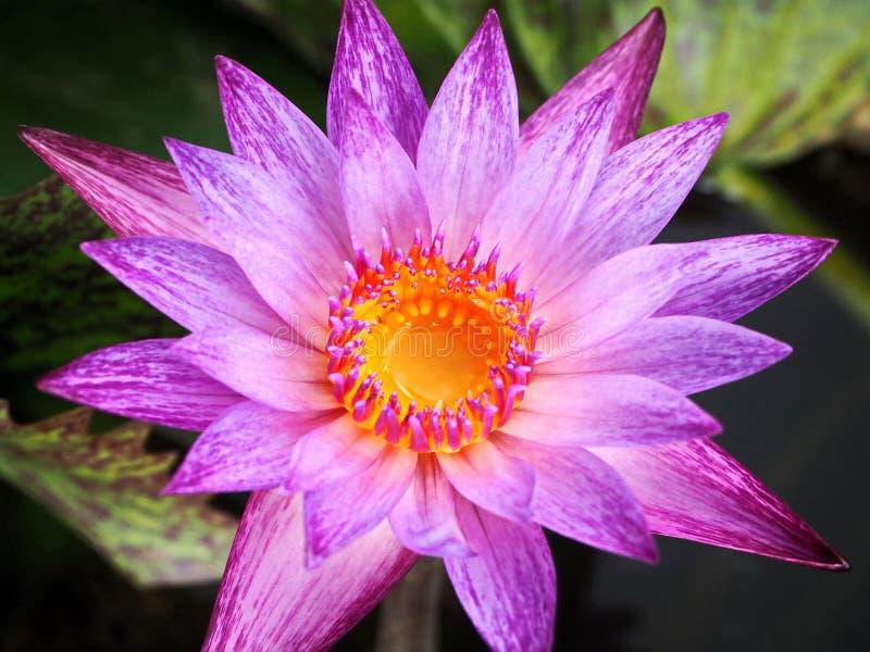 Agua púrpura Lily Blooming en la charca del jardín imagen de archivo libre de regalías
